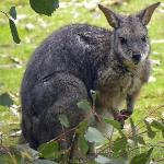 Tamar Wallaby at Koala Walk