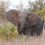 Elephant strolling by camp.