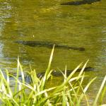 Hungry Trout in Big Springs Pond