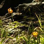 Sierra Mountain Wildflower