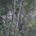 Tree Kangaroos, Mum and Dad
