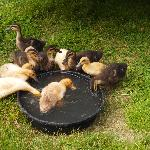 The baby ducks' first swim