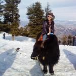 yak riding in kufri..