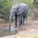 Elephent at water hole close to room no. 3