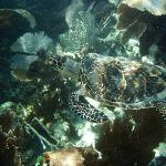 Snorkeling with an endangered Hawksbill sea turtle at Grecian Rocks