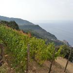 Vineyards above Manarola (en route to Corniglia)