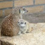 Mummy and baby meerkat