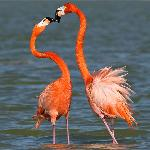 Flamingos in tender moment