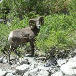 Lots of wildlife to be seen in Hells Canyon like Big Horn Sheep