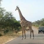 kruger national park ziraff crossing road