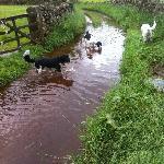 Doggies enjoying the flooded footpath on one of their walks