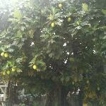 Breadfruit tree on grounds