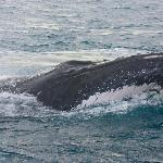 Humpback Whale in Flinders Bay