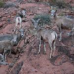 Big Horn Sheep/Rams we saw during evening hike