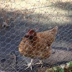 One of the friendly chooks awaiting breakfast every morning.