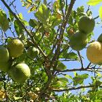 lemon tree in garden