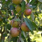 Help yourself Apples - wonderful