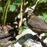 Female blackbird with a tasty snail in the courtyard