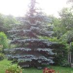pino grigio nel giardino