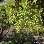 Zitronenbäume auf dem Fincagelände