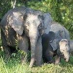 Pigmy elephants