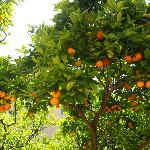 The beautiful orange and lemon grove around the pool