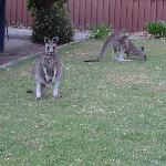 Kanagroos on the front lawn