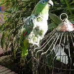 Wolf whistling parrot