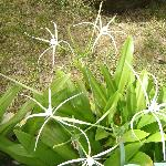 The spider crinum blossoms around the north patio