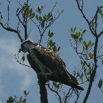 Osprey watching us as much as we were watching him!