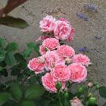 Roses in the small garden of Casa delle Rose
