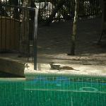 lézard au bord de la piscine