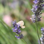 dozens of butterflies flutter in the huge lavender bushes of the gardens