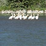 Hard to believe there are pelicans in Wyoming