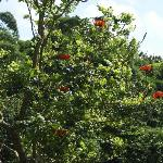 The African Tulip tree on property