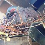 Pigeon nesting