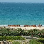La spiaggia con passaggio di mandrie