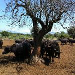 parco bufale