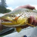 Brown trout with salmon fly dry