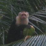 White faced capuchin monkey in tree above our room