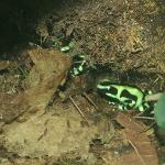 Another beautiful but poisonus frog (in vivarium)