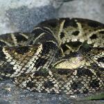 Fer-de-lance poisonus snake (lucky for us, in vivarium...)