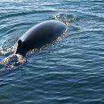 Minke Whale - Whale Watching Reykjavik