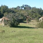 Giraffes on the lawn in front of our bedroom