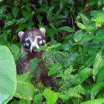 Curious Coati