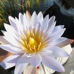 Lillie Pad flowers