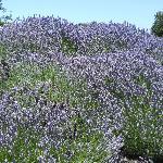 Lavender bushes in front