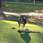 hawk on the 12th
