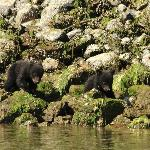 Baby bears at low tide on the wildside