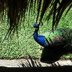 A peacock around our picnic tables